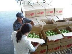 摘果りんご集荷の様子