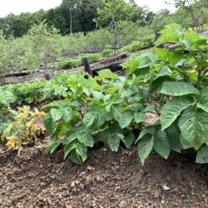 下栗芋とブルーベリー畑